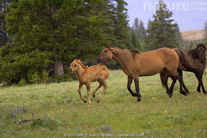 Mustang / Wild horse stallion driving filly back to his band, Montana, USA. Pryor, BABIES,BABY,BEHAVIOUR,FOAL,HORSES,MAMMALS,MARE,MOUNTAINS,MUSTANGS,NORTH AMERICA,PERISSODACTYLA,SOCIAL BEHAVIOUR,TERRITORIAL,TWO,USA,YOUNG,Equines, Carol Walker