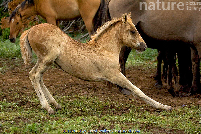 Mustang / Wild horse filly stretching, Montana, USA. Pryor mountains HMA, BABIES,BABY,BEHAVIOUR,CUTE,FOAL,HORSES,MAMMALS,MUSTANGS,NORTH AMERICA,PERISSODACTYLA,PROFILE,USA,Equines, Carol Walker
