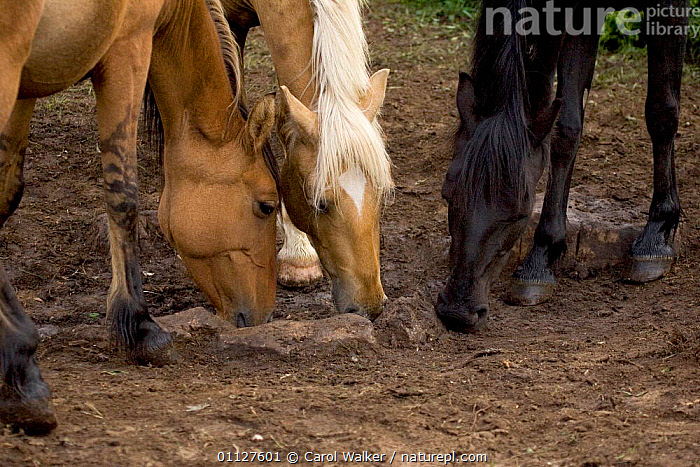 Mustang / Wild horse licking ground for mineral content, Montana, USA. Pryor, BEHAVIOUR,CLAY,DEPOSIT,FEEDING,HORSES,MAMMALS,MINERALS,MOUNTAINS,MUSTANGS,NORTH AMERICA,PERISSODACTYLA,SUPPLEMENTS,USA,Equines, Carol Walker