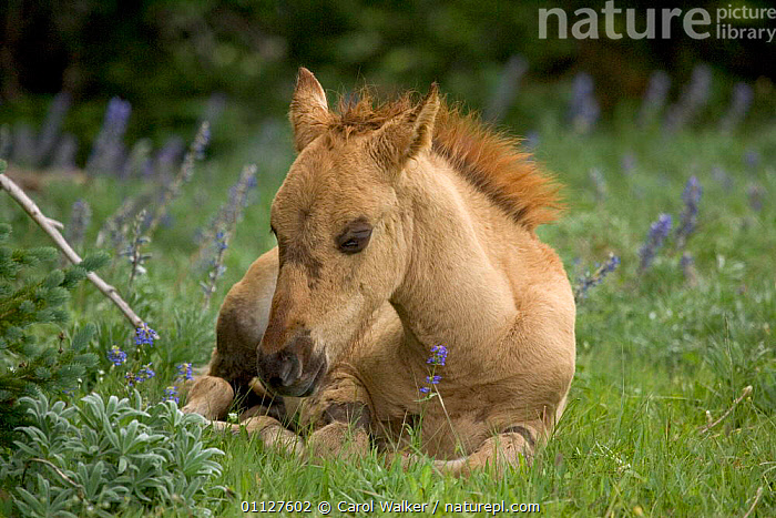 Mustang / Wild horse filly foal resting, Montana, USA. Pryor mountains HMA, BABIES,BABY,CUTE,HORSES,MAMMALS,MUSTANGS,NORTH AMERICA,PERISSODACTYLA,USA,Equines, Carol Walker
