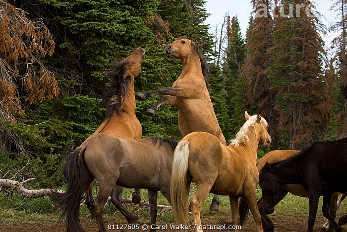 Mustang / wild horse, stallions fighting at mineral deposit, Montana, USA. Pryor, AGGRESSION,BEHAVIOUR,CLAY,DOMINANCE,GROUPS,HORSES,MALES,MAMMALS,MINERALS,MOUNTAINS,MUSTANGS,NORTH AMERICA,PERISSODACTYLA,REARING,STALLION,TWO,USA,Concepts,Equines, Carol Walker