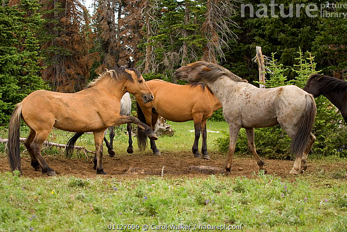 Mustang / Wild horse stallions fighting over mineral deposit, Montana, USA. Pryor  ,  AGGRESSION,BEHAVIOUR,CLAY,DOMINANCE,GROUPS,HORSES,MALES,MAMMALS,MINERALS,MOUNTAINS,MUSTANGS,NORTH AMERICA,PERISSODACTYLA,STALLION,USA,Concepts,Equines  ,  Carol Walker