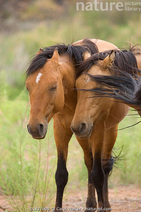 Mustang / Wild horse, mare and stallion bothered by flies, Montana, USA. Pryor mountains HM, HORSES,INSECTS,MALE FEMALE PAIR,MAMMALS,MUSTANGS,NORTH AMERICA,PERISSODACTYLA,PESTS,SUMMER,TWO,USA,VERTICAL,Invertebrates,Equines, Carol Walker