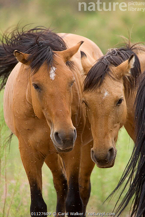 Mustang / Wild horse mare and stallion bothered by flies in summer, Montana, USA. Pryor, HORSES,INSECTS,MALE FEMALE PAIR,MAMMALS,MUSTANGS,NORTH AMERICA,PERISSODACTYLA,PESTS,TWO,USA,VERTICAL,Invertebrates,Equines, Carol Walker