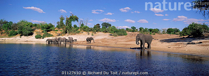 African elephants drinking at Kilwezi on Chobe river, Botswana {Loxodonta africana}, BEHAVIOUR,GROUPS,MAMMALS,LANDSCAPES,NP,PANORAMIC,PROBOSCIDS,SOUTHERN AFRICA,RESERVE,RIVERS,National Park,Elephants, Richard Du Toit