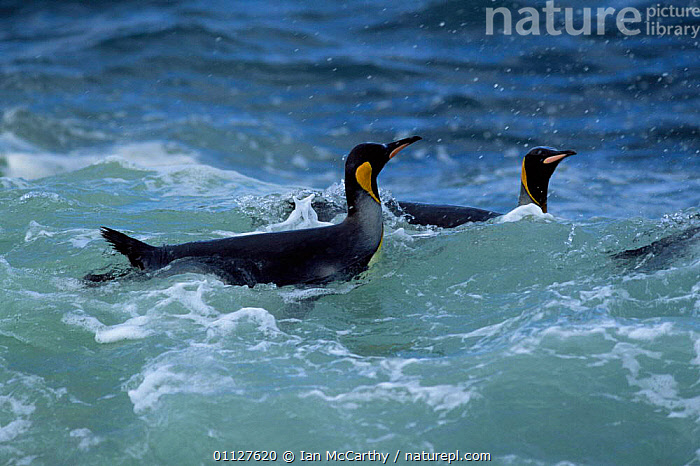 King penguins in sea {Aptenodytes patagoni} Marion Island , sub-antarctica (Taken on location for BBC Planet Earth Shallow Seas 2005)., WATER,SWIMMING,SUB ANTARCTICA,SURFACE,TWO,IS,FLIGHTLESS,COASTAL WATERS,BIRDS,Penguins,Seabirds, Seabirds, Ian McCarthy