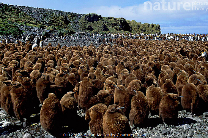 King penguin chicks in creche {Aptenodytes patagoni} Marion Island, sub-antarctica (Taken on location for BBC Planet Earth Shallow Seas 2005)., SUB ANTARCTICA,IS,FLOCKS,PENGUINS,FLIGHTLESS,GROUPS,BIRDS,BABIES,COLONY,Seabirds, Seabirds, Ian McCarthy