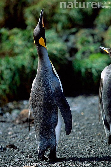 King penguin trumpeting {Aptenodytes patagoni} Marion Island, sub-antarctica (Taken on location for BBC Planet Earth Shallow Seas 2005)., VOCALISATION,PENGUINS,VERTICAL,SUB ANTARCTICA,FLIGHTLESS,IS,SEABIRDS,BIRDS,BEHAVIOUR,CALLING,DISPLAY,Communication, Seabirds, Ian McCarthy