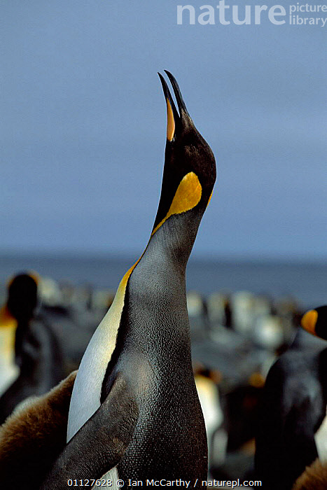 King penguin trumpeting {Aptenodytes patagoni} Marion Island, sub-antarctica (Taken on location for BBC Planet Earth Shallow Seas 2005)., CALLING,BEHAVIOUR,BIRDS,SUB ANTARCTICA,PENGUINS,FLIGHTLESS,VOCALISATION,VERTICAL,IS,SEABIRDS, Seabirds, Ian McCarthy