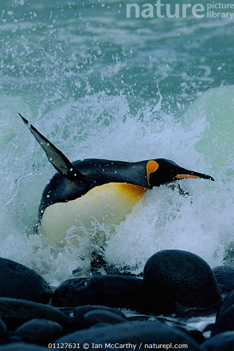 King penguin leaping out of surf {Aptenodytes patagoni} Marion Is, sub-antarctica.  (Taken on location for BBC Planet Earth Shallow Seas 2005)., PENGUINS,SUB ANTARCTIC,VERTICAL,WAVES,JUMPING,ACTION,FLIGHTLESS,BIRDS,BEHAVIOUR,Seabirds, Seabirds, Ian McCarthy