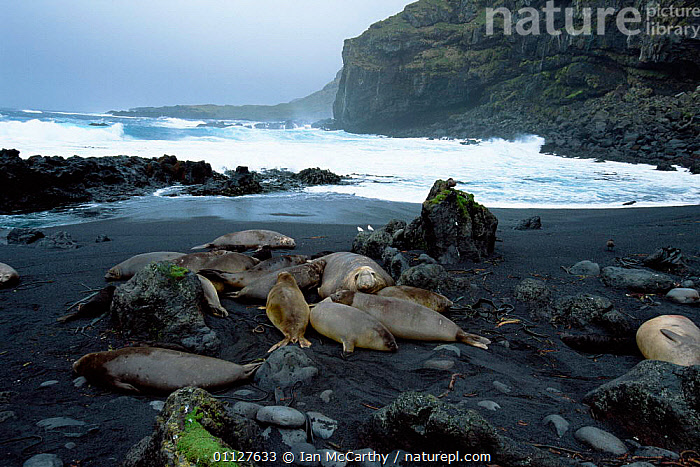 Male Southern elephant seal with harem {Mirounga leonina} Marion Island, sub-antarctica, BEACHES,COASTS,GROUPS,FEMALES,MALE FEMALE PAIR,IS,MARINE,SEALS,MAMMALS,PINNIPEDS, Ian McCarthy