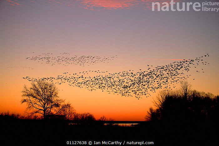 Flock of Snow geese in dawn sky {Chen caerulescens} Delaware, USA, BIRDS, FLOCKS, FLYING, GEESE, goose, LANDSCAPES, SUNRISE, USA, VERTEBRATES, WATERFOWL,North America, Ian McCarthy