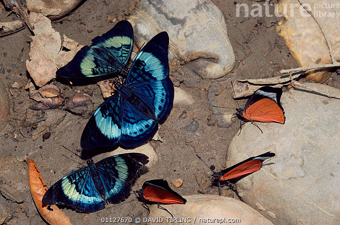 Butterflies {Panacea prola} feeding on salts on river bank, Manu NP, Peru, SOUTH AMERICA,MINERALS,LEPIDOPTERA,GROUPS,INSECTS,BEHAVIOUR,CLAYLICK,Invertebrates, DAVID TIPLING