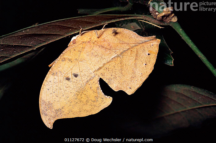 Leaf mimic butterfly {Zaretis sp} Costa Rica, VERTICAL,MIMICRY,LEAVES,LEPIDOPTERA,INSECTS,BUTTERFLIES,CAMOUFLAGE,CENTRAL AMERICA,Invertebrates, Doug Wechsler
