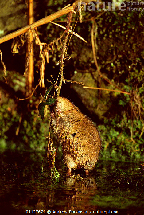 Water vole stretches up to feed on bramble {Arvicola terrestris} Derbyshire, England, FRESHWATER,FEEDING,EUROPE,MAMMALS,CANAL,CROMFORD,BEHAVIOUR,VERTICAL,VOLES,UK,RODENTS,STRETCHING,United Kingdom,British,Muridae, Andrew Parkinson