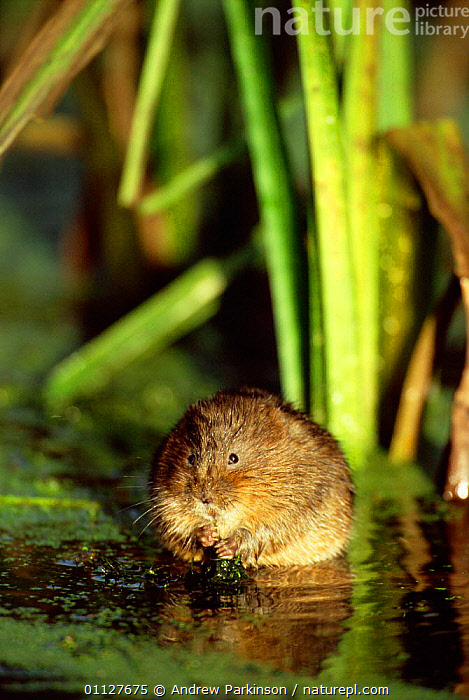 Water vole portrait in reed bed {Arvicola terrestris} Derbyshire, England, UK,MAMMALS,VERTICAL,REEDS,RODENTS,VOLES,CROMFORD,CANAL,PORTRAITS,EUROPE,FRESHWATER,United Kingdom,British,Muridae, Andrew Parkinson