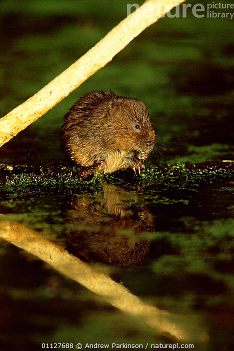 Water vole with stripped sycamore branch {Arvicola terrestris} UK, Derbyshire., VOLES,VERTICAL,MAMMALS,STRIPPING,CROMFORD,ENGLAND,CANAL,BARK,BEHAVIOUR,RODENTS,EUROPE,FRESHWATER,Plants,Muridae, Andrew Parkinson