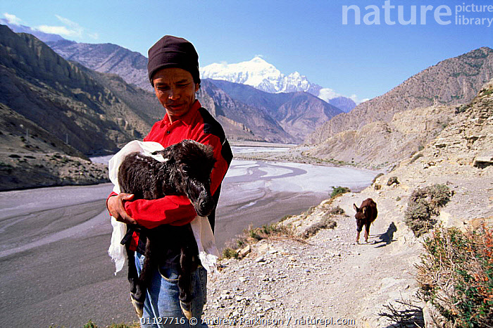 Man carries newborn mule up Kali Gandaki gorge with exhausted mother behind., VALLEY,PEOPLE,TREK,PERISSODACTYLA,MOUNTAINS,MAMMALS,LANDSCAPES,HIMALAYAS,ASIA,ANNAPURNA,CIRCUIT,INDIAN-SUBCONTINENT, Andrew Parkinson
