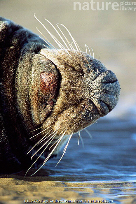 Close up of whiskers of male Grey seal {Halichoerus grypus} Lincolnshire, UK, MAMMALS,HUMOROUS,CRYPTIC,CLOSE UPS,PINNIPEDS,NOOK,MOUTHS,DONNA,COASTS,EUROPE,SEALS,Concepts, CARNIVORES , United Kingdom, CARNIVORES , United Kingdom, CARNIVORES , United Kingdom, CARNIVORES , United Kingdom, CARNIVORES , United Kingdom, CARNIVORES , United Kingdom, CARNIVORES , United Kingdom,Catalogue1, Andrew Parkinson