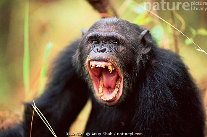 Male Chimpanzee yawning, Gombe NP, Tanzania 2003 'Tubbe' {Pan troglodytes schweinfurtheii} Not available for ringtone/wallpaper use.  ,  MOUTHS,PRIMATES,COMMUNICATION,BEHAVIOUR,CHIMPANZEES,EXPRESSIONS,TEETH,CHIMPS,MAMMALS,ENDANGERED,CHIMP,RESERVE,MALES,TROPICAL RAINFOREST,FACES,FEAR,AGGRESSION,EAST AFRICA,Africa,Concepts,Great apes,RINGTONE  ,  Anup Shah