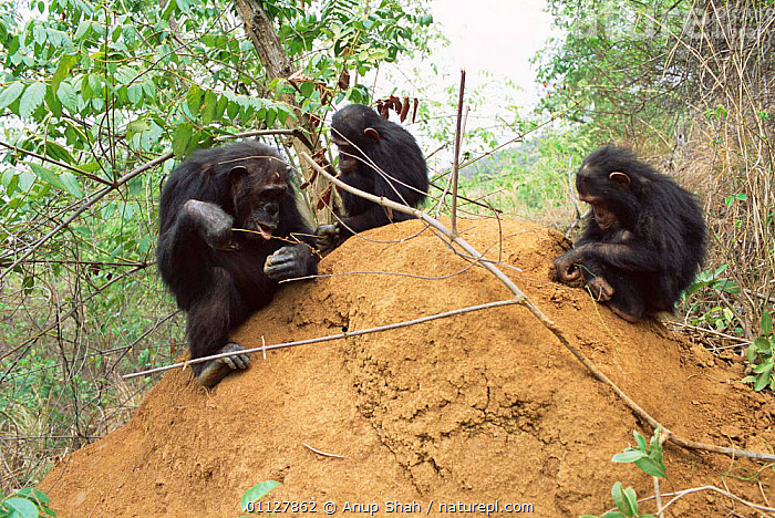 Young Chimpanzees + mother fishing for termites, Gombe NP, Tanzania 2003 'Gremlin', INSECTS,CHIMP,TOOL USING,BABY,MAMMALS,ENDANGERED,FEEDING,GROUPS,TOOLS,BEHAVIOUR,PRIMATES,BABIES,FAMILIES,RESERVE,CHIMPS,LEARNING,EAST AFRICA,SCHWEINFURTHEII,Africa,Invertebrates,Great apes,Catalogue1, Anup Shah