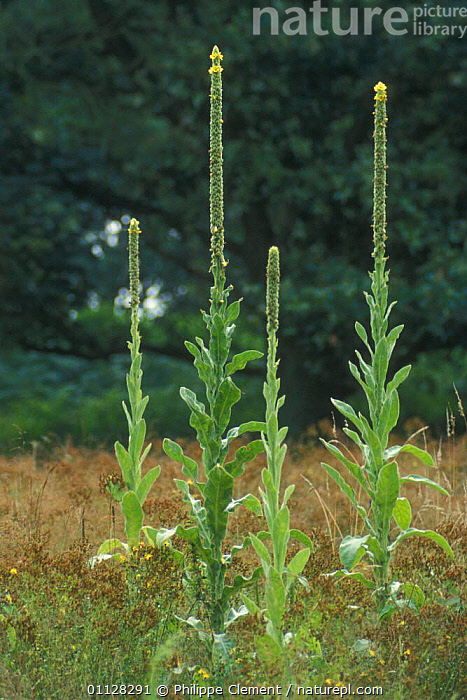 Common mullein / Aaron's rod in flower {Verbascum thapsus} Belgium  ,  AARON,EUROPE,FLOWERS,PLANTS,VERTICAL  ,  Philippe Clement