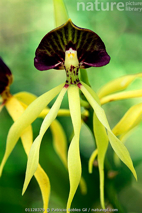 Nature Picture Library Black Orchid Flower Encyclia Cochleata