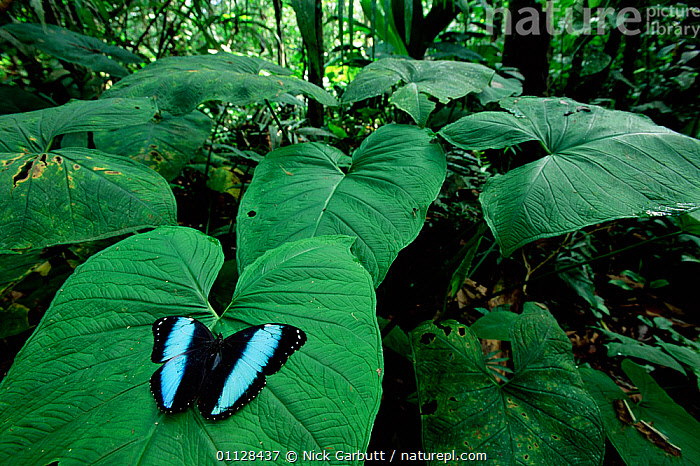 RF- Morpho butterfly displaying on leaf (Morpho achilles). Amazonia, Ecuador. (This image may be licensed either as rights managed or royalty free.), ARTHROPODS,BIG,BLUE,BUTTERFLIES,HABITAT,INSECTS,INVERTEBRATES,LARGE,LEAVES,LEPIDOPTERA,SIZE,TROPICAL-RAINFOREST,MORPHO ACHILLES,Animal,Arthropod,Insect,Brushfooted butterfly,Morpho butterfly,Achilles morpho,Animalia,Animal,Wildlife,Hexapoda,Arthropod,Invertebrate,Hexapod,Arthropoda,Insecta,Insect,Lepidoptera,Lepidopterans,Nymphalidae,Brushfooted butterfly,Fourfooted butterfly,Nymphalid,Butterfly,Papilionoidea,Morpho,Morpho butterfly,Satyrine,Satyrid,Brown,Satyrinae,Morpho achilles,Achilles morpho,Achilles butterfly,Blue banded morpho,Bluebanded morpho,Banded blue morpho,Waiting,Nobody,Vibrant Colour,Pattern,Latin America,South America,Ecuador,Plant,Leaf,Foliage,Tropical,Outdoors,Nature,Wild,Rainforest,Tropical rainforest,Animal Behaviour,Display,Forest,Behaviour,Animal marking,Amazon,RF,Royalty free,RFCAT1,RF17Q1,, Nick Garbutt