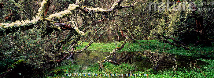 Paramo wetland habitat with {Polylepis incana} trees. El Angel reserve, Andes, Ecuador  ,  INCANA,LANDSCAPES,LICHEN,PANORAMIC,POLYLEPIS,TREES,WETLANDS,Plants,Catalogue1  ,  Pete Oxford