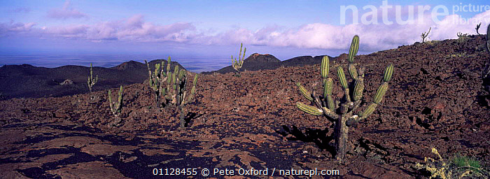 Candelabra cactus {Jasminocerus thouarsii} on lava, Isabela Is, Galapagos, PANORAMIC,LANDSCAPES,JASMINOCERUS,GROWTH,CACTI,VOLCANOES,THOUARSII,Concepts,Geology,Plants,SOUTH-AMERICA, Pete Oxford
