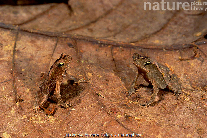 Two Crested toads {Bufo typhonia complex} Amazonia, Ecuador, FROGS,COMPLEX,CAMOUFLAGE,SOUTH AMERICA,TROPICAL RAINFOREST,Anura,Toads, Pete Oxford