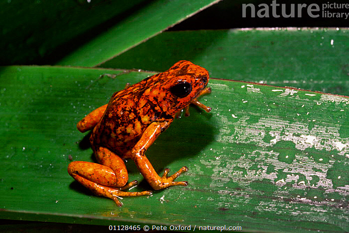 Poison arrow frog {Dendrobates sylvaticus} Choco forest, Ecuado  ,  AMPHIBIANS, Anura, FROGS, ORANGE, POISON-ARROW-FROGS, TROPICAL-RAINFOREST, VERTEBRATES  ,  Pete Oxford
