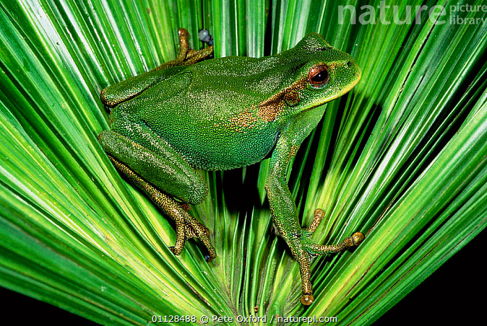 Marsupial frog {Gastrotheca orophylax} Cloudforest, Ecuador, AMPHIBIANS, Anura, CAMOUFLAGE, FROGS, GREEN, TREE-FROGS, VERTEBRATES, Pete Oxford