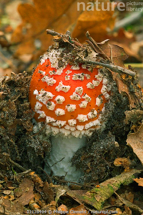 Fly agaric fungus emerging from soil {Amanita muscaria} Belgium, AMANITACEAE, EUROPE, FUNGI, GROWTH, VERTICAL,Concepts, Philippe Clement