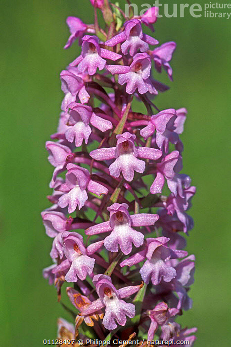 Fragrant orchid {Gymnadenia conopsea} France  ,  FLOWERS,EUROPE,ORCHIDS,PLANTS,WILDFLOWERS,VERTICAL  ,  Philippe Clement