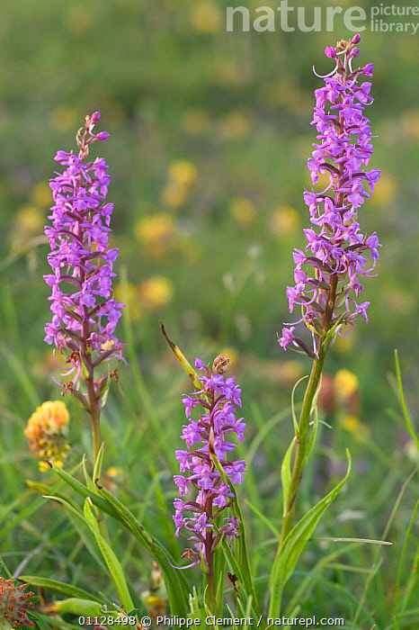 Fragrant orchids {Gymnadenia conopsea} France  ,  VERTICAL,WILDFLOWERS,THREE,PLANTS,GRASSLAND,EUROPE,DOWNLAND,FLOWERS  ,  Philippe Clement
