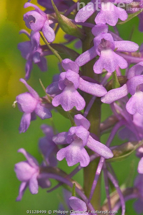 Fragrant orchid {Gymnadenia conopsea} France, FLOWERS,EUROPE,PLANTS,ORCHIDS,WILDFLOWERS,VERTICAL, Philippe Clement