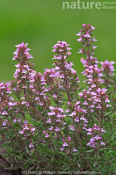 Garden thyme in flower {Thymus vulgaris} France  ,  EUROPE,FLOWERS,HERBS,PLANTS,WILDFLOWERS,VERTICAL  ,  Philippe Clement