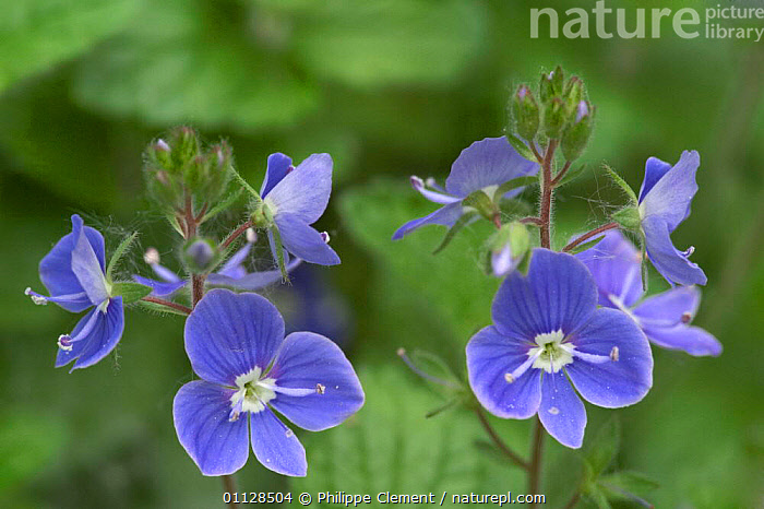 Germander speedwell {Veronica chamaedrys} France  ,  SPEEDWELLS,WILDFLOWERS,PLANTS,BLUE,FLOWERS,EUROPE  ,  Philippe Clement