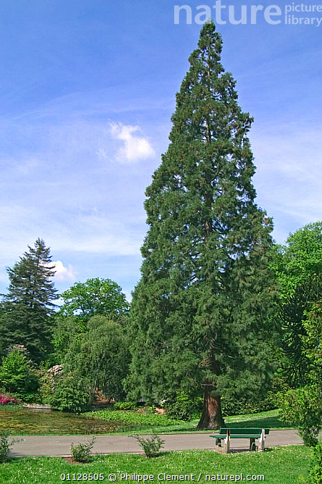 Giant sequoia tree in park {Sequoiadendron giganteum} Belgium, EUROPE,PARKS,GARDENS,VERTICAL,TREES,TALL,SIZE,Plants, Philippe Clement