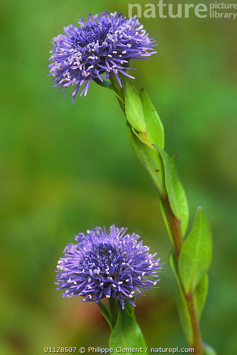 Globe daisy in flower {Globularia punctata} France  ,  EUROPE,FLOWERS,PLANTS,VERTICAL,WILDFLOWERS,TWO,PUNCTATA  ,  Philippe Clement