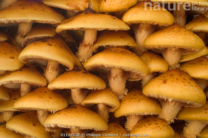 Golden scalycap fungi {Pholiota aurivella} close up Belgium, ABSTRACT, EUROPE, FUNGI, GROUPS, PATTERNS, STROPHARIACEAE, Philippe Clement