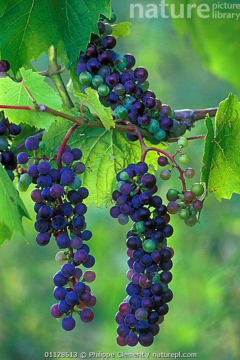 Bunch of Wild grapes on vine {Vitis sp} France  ,  VERTICAL,EUROPE,EDIBLE,FRUIT,PLANTS  ,  Philippe Clement