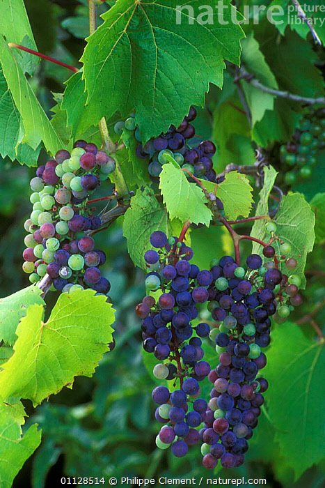 Bunch of Wild grapes on vine {Vitis sp} France  ,  PLANTS,FRUIT,EDIBLE,EUROPE,VERTICAL  ,  Philippe Clement