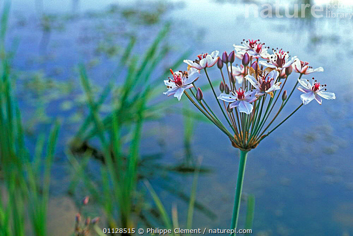 Flowering Grass rush {Butomus umbellatus} France  ,  WETLANDS,RUSHES,REEDS,EUROPE,FLOWERS,PLANTS  ,  Philippe Clement