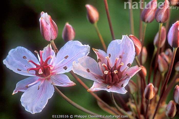 Flowering Grass rush {Butomus umbellatus} France  ,  PLANTS,FLOWERS,EUROPE,REEDS,RUSHES  ,  Philippe Clement