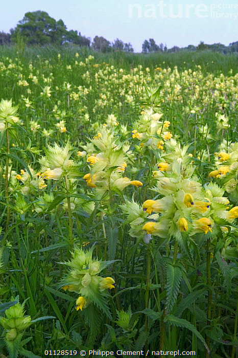 Greater yellow rattle in meadow {Rhinanthus angustifolia} Belgium, VERTICAL,WILDFLOWERS,EUROPE,FLOWERS,PLANTS,MEADOWLAND,HABITAT,Grassland, Philippe Clement