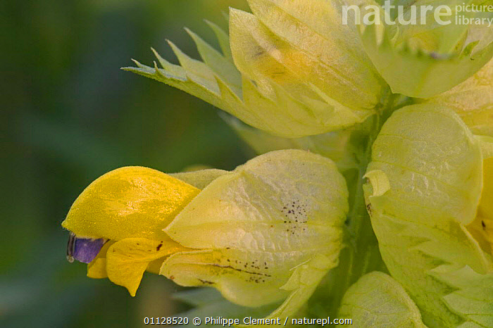 Greater yellowrattle flower {Rhinanthus angustifolia} Belgium, PLANTS,PETALS,FLOWERS,EUROPE,BELGIUM,CLOSE UPS,WILDFLOWERS,RATTLE,YELLOW, Philippe Clement