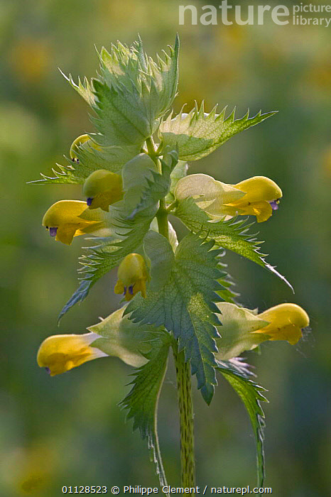 Greater yellow rattle flowers {Rhinanthus angustifolia} Belgium, VERTICAL,WILDFLOWERS,EUROPE,PLANTS, Philippe Clement