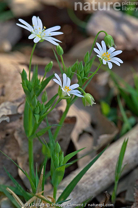 Greater stitchwort flowers {Stellaria holostea} France  ,  PLANTS,EUROPE,WILDFLOWERS,VERTICAL  ,  Philippe Clement
